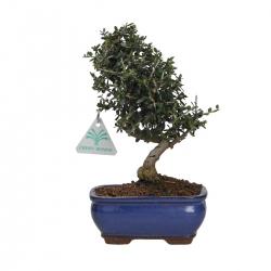 Olea europaea sylvestris - 23 cm