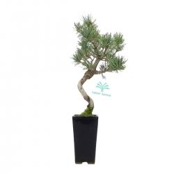 Pinus Pentaphylla - 27,5 cm