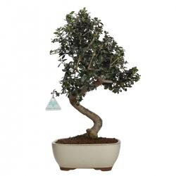 Olea europaea sylvestris - 46 cm