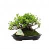 Chaenomeles chinensis chojubai - cognassier - 15 cm