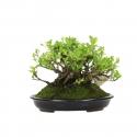 Chaenomeles chinensis chojubai - 15 cm