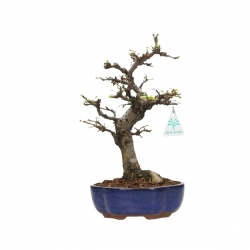 Ulmus parvifolia - Olme - 29 cm