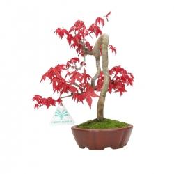 Acer palmatum Deshojo - acero - 23 cm