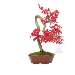 Acer palmatum Deshojo - érable - 23 cm