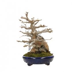Acer buergerianum - érable - 22 cm