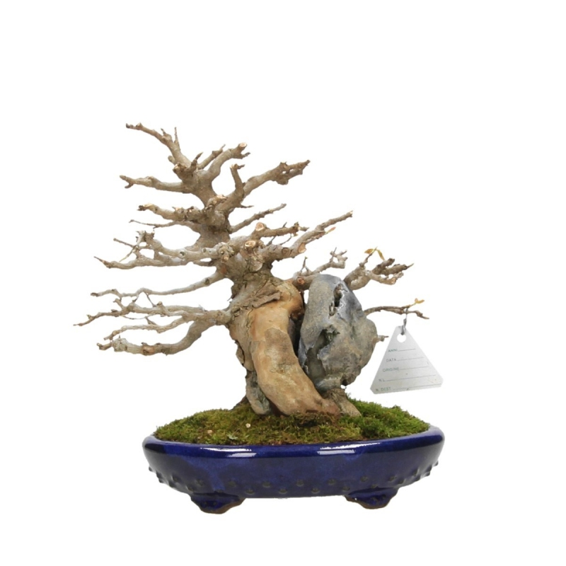Acer buergerianum - maple - 22 cm