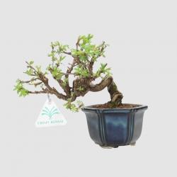 Potentilla fruticosa - 17 cm