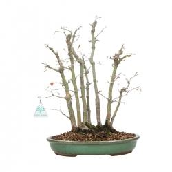 Acer palmatum - maple - 42 cm