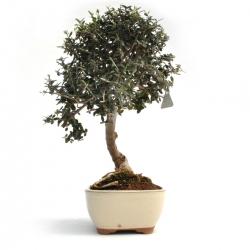 Olea europea sylvestris - 43 cm