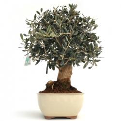 Olea europea - 39 cm