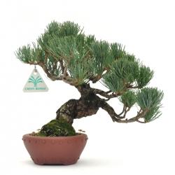 Pinus pentaphylla - Pin - 25 cm