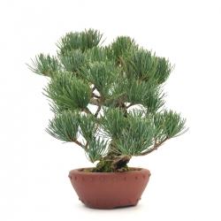 Pinus pentaphylla - Pine - 25 cm