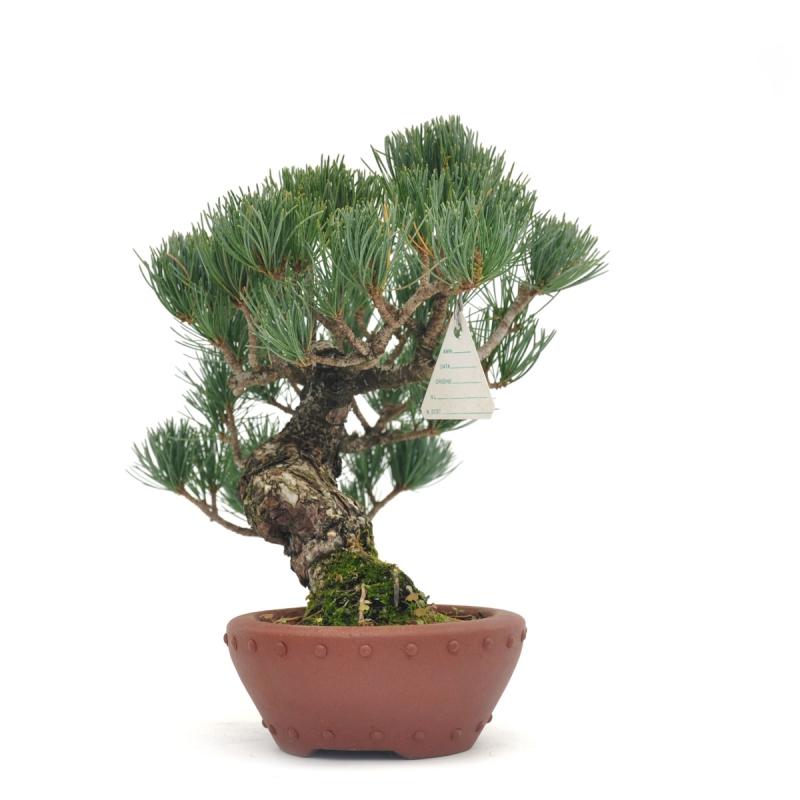 Pinus pentaphylla - Pino - 25 cm