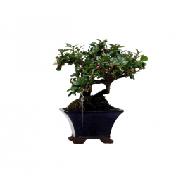 Cotoneaster - 14,5 cm