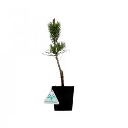 Pinus pentaphylla - 28,5 cm