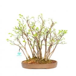 Euonymus alata - 43,5 cm