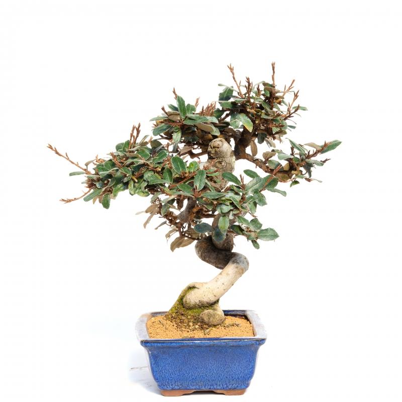 Elaeagnus pungens - 29 cm