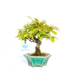 Pourthiaea villosa - 21,5 cm