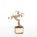Acer palmatum - 20,5 cm