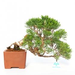 Juniperus chinensis - Juniper - 24 cm