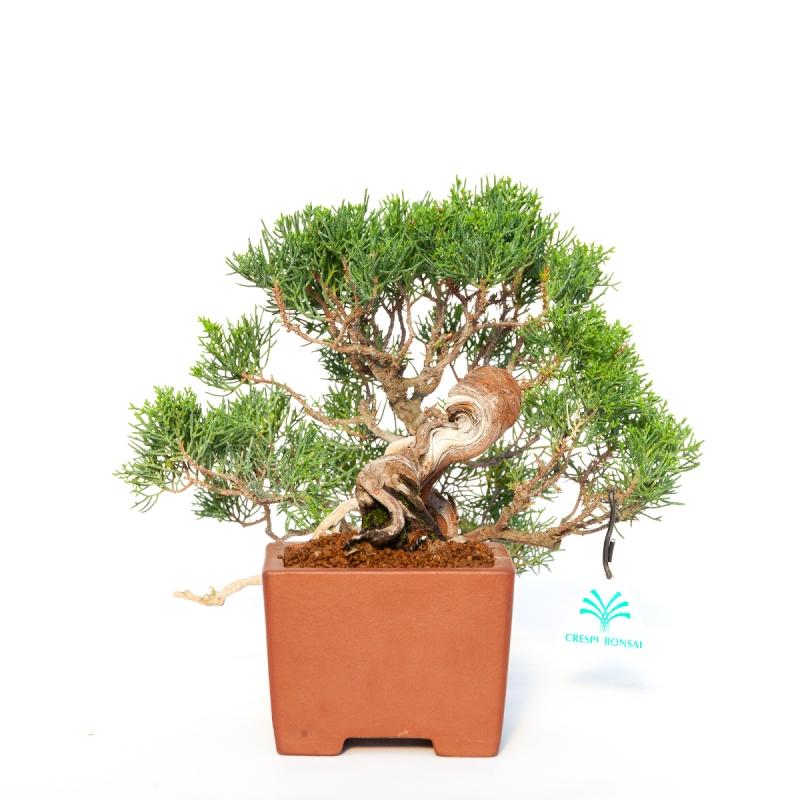 Juniperus chinensis - Ginepro - 24 cm