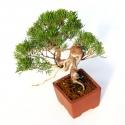 Juniperus chinensis - Genévrier - 24 cm