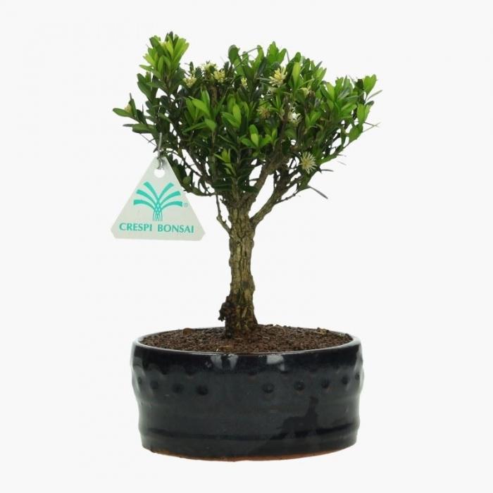 Buxus harlandii - Bosso - 21 cm