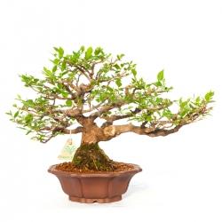 Styrax japonica - 27 cm