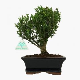 Buxus harlandii - Bosso - 24 cm