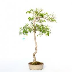 Evonimus sieboldianus - 68 cm