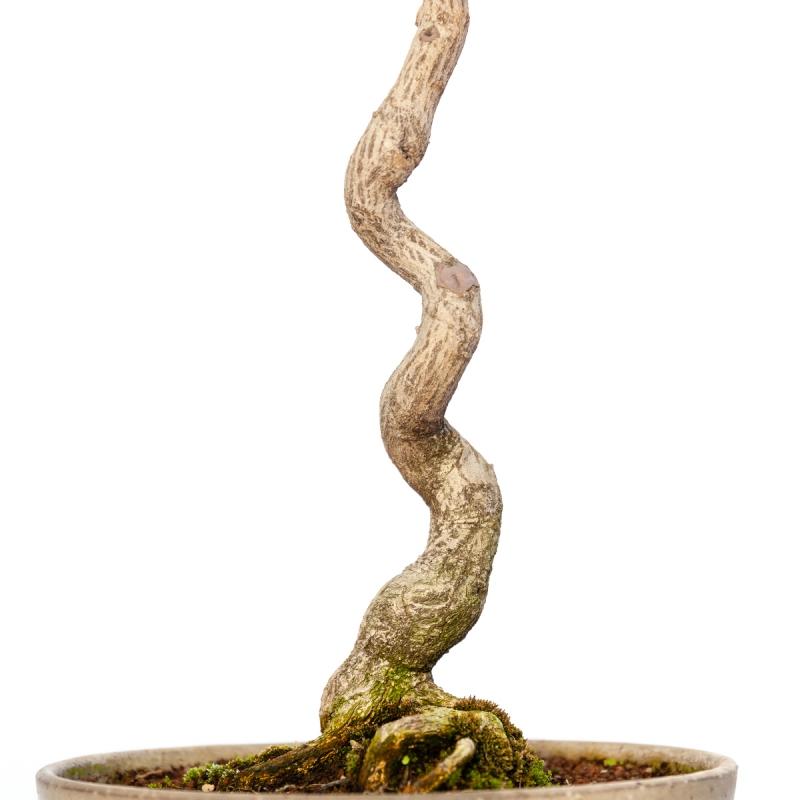 Euonymus sieboldianus - 68 cm