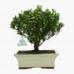 Buxus harlandii -  Buis - 27 cm