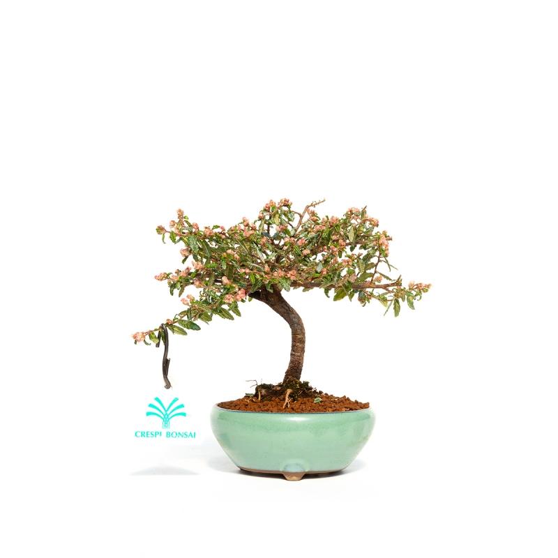 Dryas Octopetala - Camedrio alpino - 17 cm