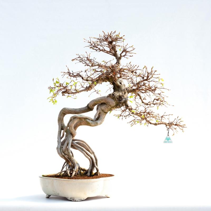 Carpinus koreana - 82,5 cm