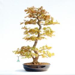 Acer palmatum viridis - 86,5 cm