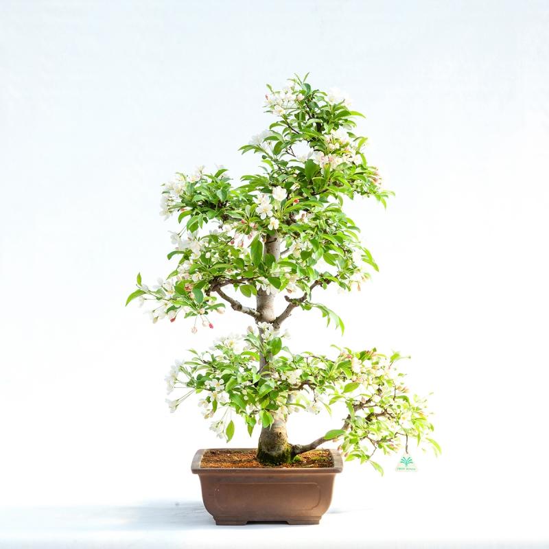 Malus halliana - 83,5 cm