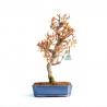 Punica granatum - Pomegranate - 43 cm