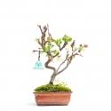 Malus evereste - 31,5 cm