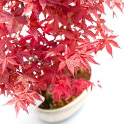 Acer palmatum deshojo - 38 cm