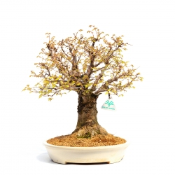 Zelkova serrata - Elm - 40 cm