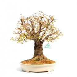Zelkova serrata - Orme - 40 cm