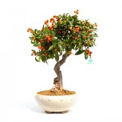 Citrus kinzu -  62 cm