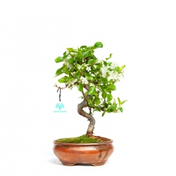 Prunus Mahaleb - 33 cm