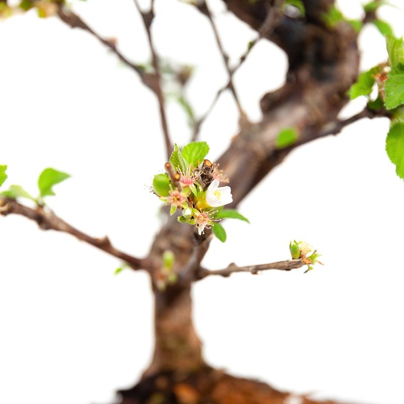 Prunus tomentosa - 38 cm