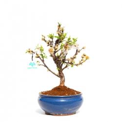 Prunus tomentosa - 37 cm