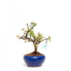 Prunus tomentosa - 32 cm