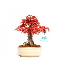 Acer palmatum deshojo - 20 cm