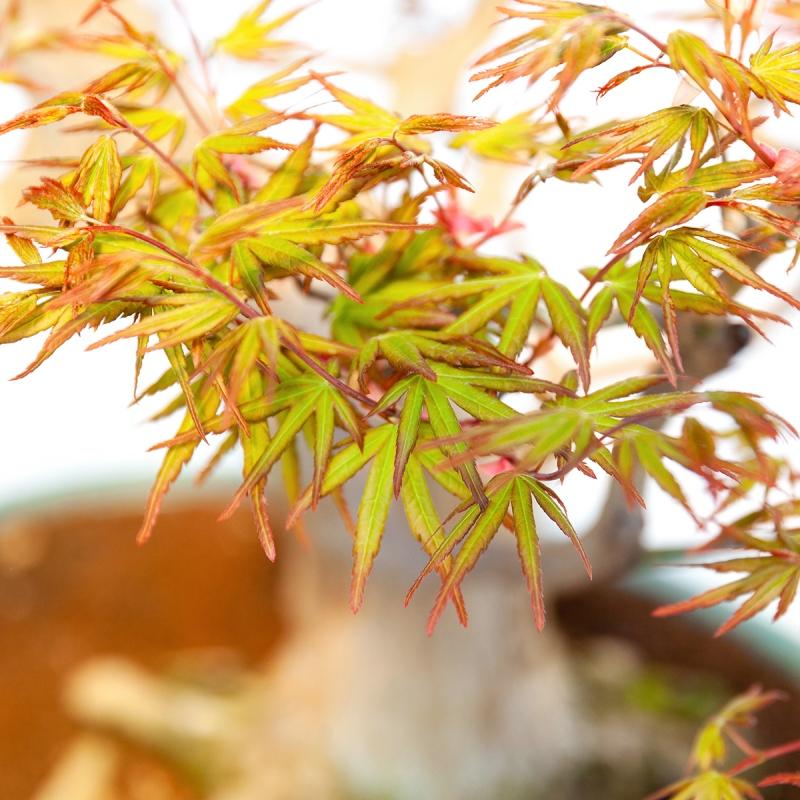 Acer palmatum viridis - 74 cm