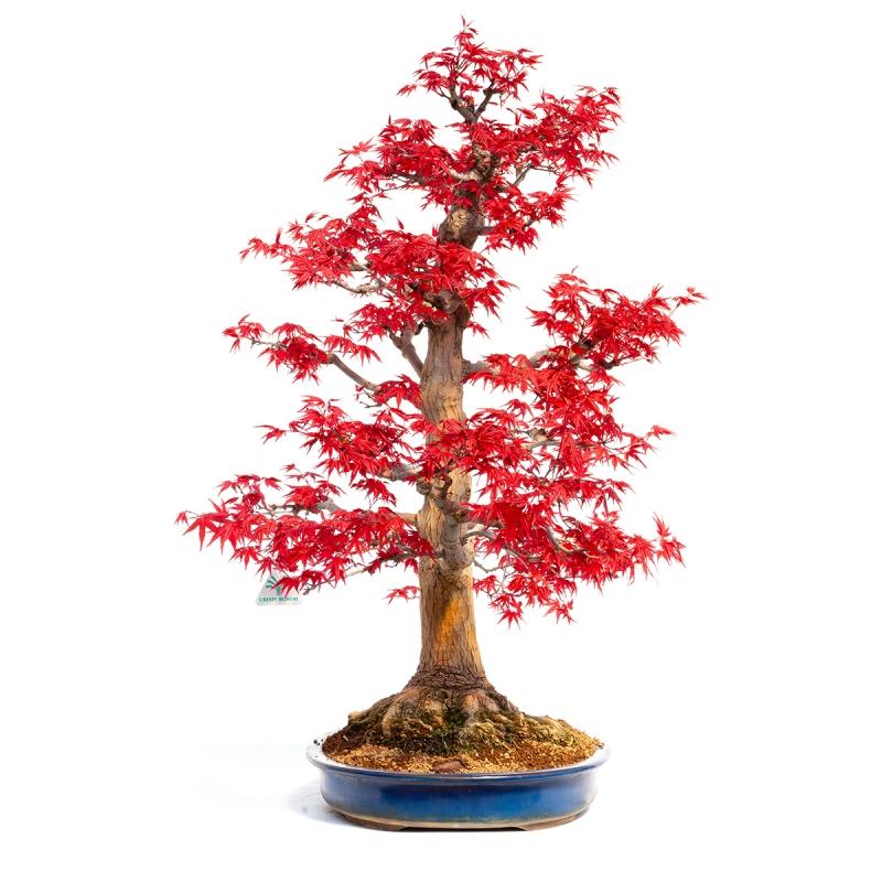 Acer palmatum deshojo - 73 cm