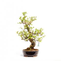 Prunus tomentosa - 60 cm